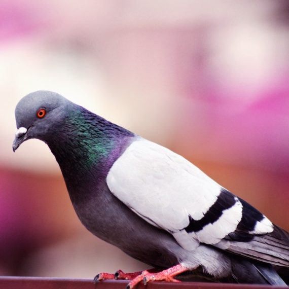 Birds, Pest Control in Dartford, Crayford, DA1. Call Now! 020 8166 9746