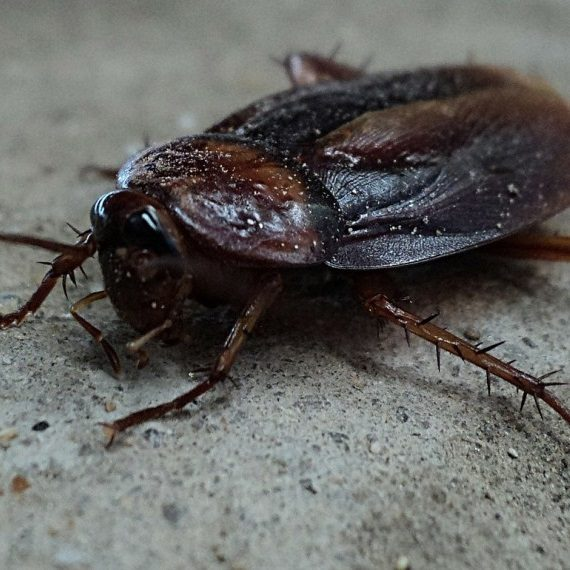 Cockroaches, Pest Control in Dartford, Crayford, DA1. Call Now! 020 8166 9746