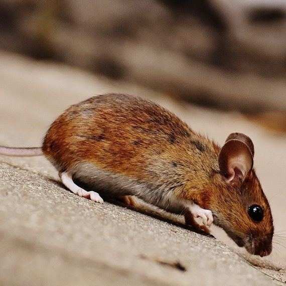 Mice, Pest Control in Dartford, Crayford, DA1. Call Now! 020 8166 9746