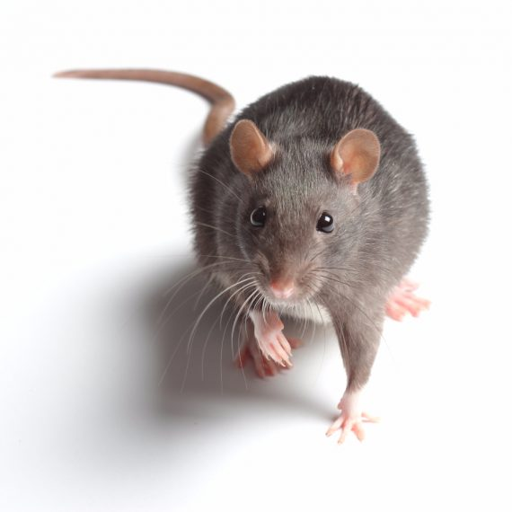 Rats, Pest Control in Dartford, Crayford, DA1. Call Now! 020 8166 9746