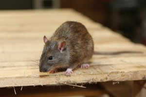 Rodent Control, Pest Control in Dartford, Crayford, DA1. Call Now 020 8166 9746