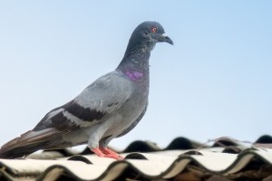 Pigeon Pest, Pest Control in Dartford, Crayford, DA1. Call Now 020 8166 9746